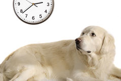 It's lunch time. Golden retriever dog looking at clock Stock Photos