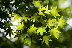 S1 maple leaves Stock Image