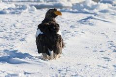 ` S mar-Eagle, pelagicus del Haliaeetus, solo pájaro de Steller en el hielo la Florida Imagen de archivo libre de regalías