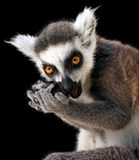 It's mine. Ring-tailed lemur isolated on black Royalty Free Stock Images