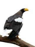 orła s morza steller Obrazy Stock