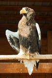 orła s morza steller Zdjęcie Stock
