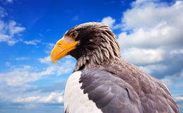 orła s morza steller Zdjęcie Royalty Free