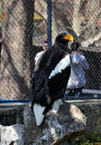 s morza steller orła Zdjęcie Royalty Free