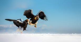 orła s morza steller Zdjęcia Stock
