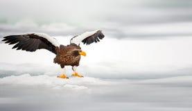 orła s morza steller Fotografia Stock
