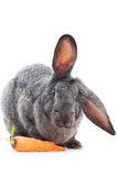 It's my food!. Portrait of eating rabbit with carrot isolated on white Stock Images