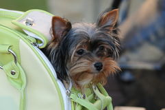 It`s my house. Yorkshire terrier in the bag Royalty Free Stock Photo