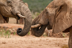 elephant trunks Stock Photography