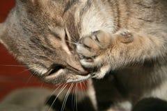 s mycie kota zdjęcia royalty free