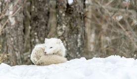 It`s nap time for this Arctic fox in seasonal moulting stock photos