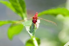 A Red Migrant Hawker. It`s a nice photo a Red Migrant Hawker royalty free stock photos