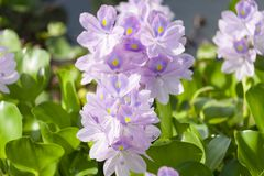 Nice Water hyacinth Flowers stock images