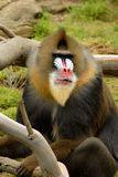 That's no Baboon! Royalty Free Stock Photography