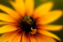It's not a bee. Mimics under the bee insect Royalty Free Stock Image
