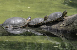 Free São Paulo, Brazil, Three Tortoises On A Log In The River Stock Photo - 75423740