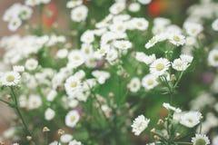 Słodcy kosmosów kwiaty fotografia royalty free