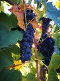 Słodcy winogrona Obraz Royalty Free