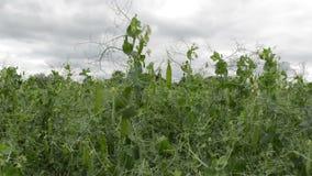 s?odcy zieleni grochy zdjęcie wideo