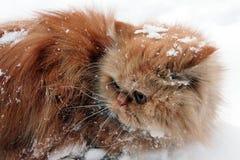 słodka czerwony kot Zdjęcie Royalty Free