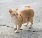słodka czerwony kot Fotografia Royalty Free