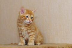 słodka kociaki czerwony Obrazy Royalty Free
