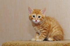 słodka kociaki czerwony Fotografia Royalty Free