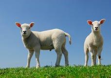 słodka lamb wiosna obrazy stock