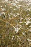 Słodka trawa Fotografia Stock