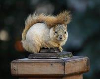 słodka wiewiórka Zdjęcia Stock