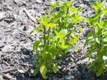 Słodki basil (Ocimum basilicum) Fotografia Royalty Free