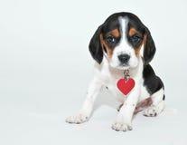 Słodki Beagle szczeniak Fotografia Royalty Free