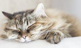 Słodki brown skumbriowy kot siberian traken na chrobota pos Zdjęcia Stock