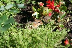 Słodki Chipmunk Zdjęcie Royalty Free