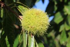 Słodki cisawy drzewo Zdjęcie Royalty Free