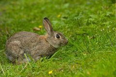 słodki europejskiego dziki królik Zdjęcia Stock