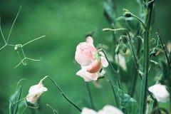 Słodki groch kwitnie na zielonym tle Zdjęcia Royalty Free