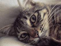Słodki kot Obraz Stock
