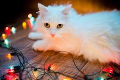 słodki kota biel Zdjęcia Royalty Free