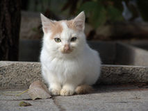 słodki kotek white Obraz Royalty Free