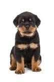 Słodki rottweiler szczeniaka obsiadanie Obrazy Royalty Free
