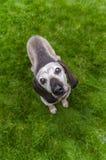 Słodki stary pies Zdjęcie Stock