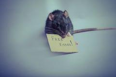 słodki szczura Obraz Stock