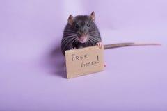 słodki szczura Zdjęcia Royalty Free