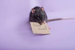 słodki szczura Obraz Royalty Free