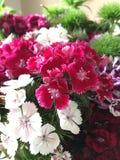 Słodki William kwiat - Dianthus barbatus Obraz Stock
