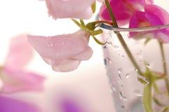 Słodkich grochów kwiat Fotografia Royalty Free