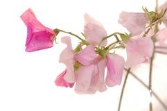 Słodkich grochów kwiat Zdjęcie Royalty Free