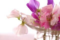 Słodkich grochów kwiat Obraz Royalty Free