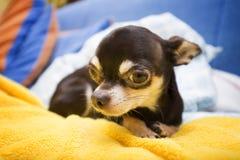 słodkie chihuahua Obraz Royalty Free